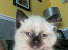 Pure ragdoll kitten male