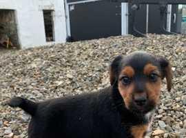 Gorgeous Welsh Terrier Cross Pups - 1 left!