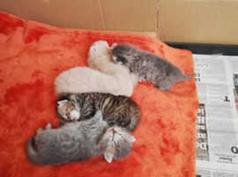 Pedigree doll face persian x kittens for sale