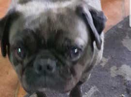 Ralph  the pug