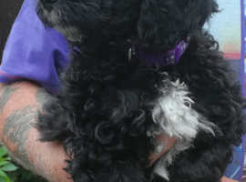 Handsome Male F2 Cockapoo looking for his loving forever home