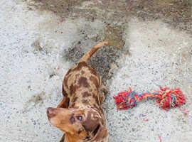 Chocolate dapple miniature dachshund