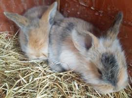 Beautiful baby harlaquin bunnies forsale