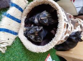 Half/Bengal kittens