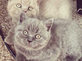 British short hair BSH pedigree kittens. GCCF Registered as active to allow breeding.