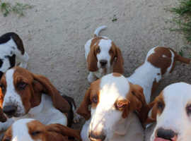 Show quality Basset Pups 4 & 5 months old ready now