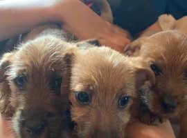 Norfolk terrier X jack Russell puppies