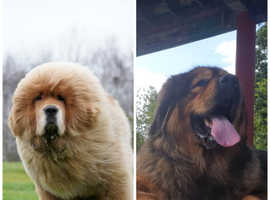 Pregnancy confirmed **** beautiful Tibetan Mastiff puppies due end of January. Xxxx