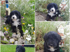 Gorgeous miniature beardoodle puppies ready 30th June