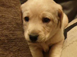 One Labrador dog puppy left