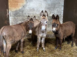 WOW!! Three jack donkeys!!