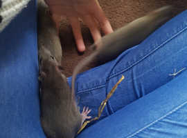 6 male baby rats
