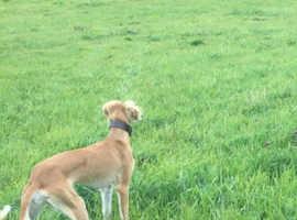 Saluki greyhound bitch
