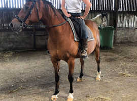 Toffee! 14.2hh hack/all rounder!
