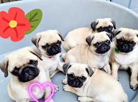 Pug puppies Pedigree