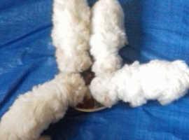 4 Beutiful Bichon Frise Puppies.