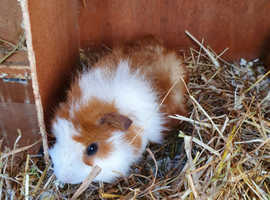 Beautiful  Two male baby Guinea pigs.