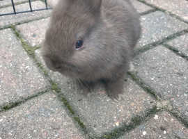 TIny genuine chocolate self Netherland dwarf