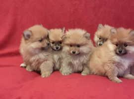Pomeranian Boys & Girls