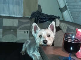 Wanted Westie pup