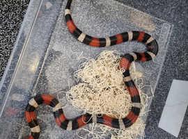 Milk snake and viv