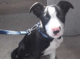 15 week old border collie