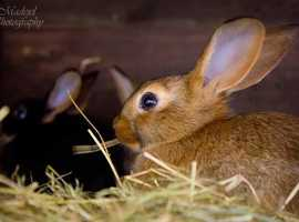 Pure Bred Belgian Hares - Just one beautiful boy left