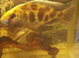 Nimbochromis venustus FREE
