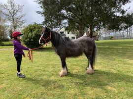 Project 12.1hh black/ grey mini cob mare 10yrs