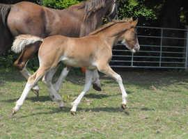 Welsh Section D colt foal
