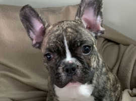 French Bulldogs for sale in London