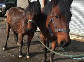 Super sweet Caspian type mare