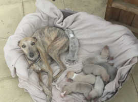 Wippet puppies for sale