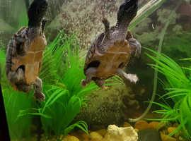 Musk Turtles