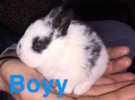 7 lionhead/dwarf baby rabbits for sale