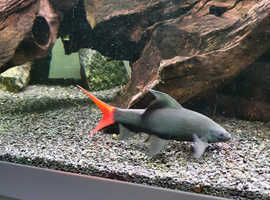 Red tailed Black shark.