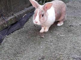 Buddy the rex rabbit