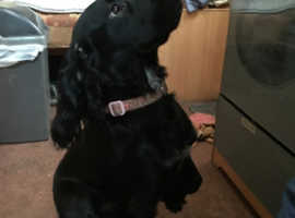 Nine months old cocker spaniel, very lively and fully house trained