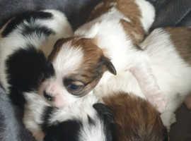 teddy bear bichon x shih tzu puppies