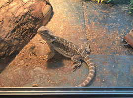 Price reduced!! Young bearded dragon and full set up for sale