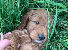 Stunning cockapoo puppies ready to leave