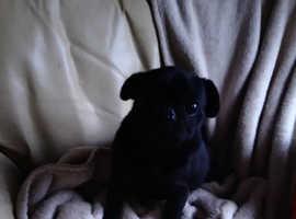 Beautiful pedigree pug