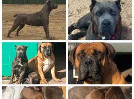 Cane Corso x Boerboel puppies