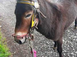 Mule gelding for sale