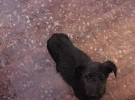 Deerhound greyhounds x saluki bull greyhound
