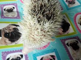 Baby boy pygmy hedgehog hoglet ready can deliver