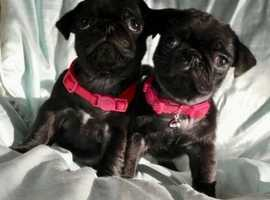 ready 4 Kc Registered Pug Puppies fawn and black  'still Available'