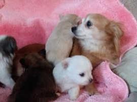 Xx Chihuahua puppies