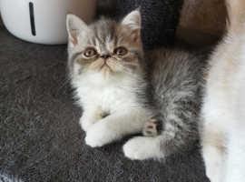 GCCF Exotic shorthair Persian kittens champion parents