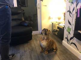 British bulldog male pup